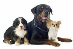 Three dogs Royalty Free Stock Photo