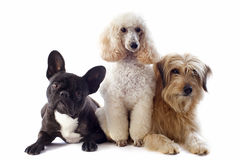 Three dogs Royalty Free Stock Image