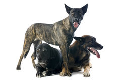 Three dogs. Portrait of three dogs in a studio Royalty Free Stock Images