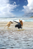 Three dogs. Playing happily in the water Stock Photography