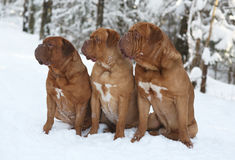 Three dogs. Three mastiffs from Bordeaux sitting on snow Royalty Free Stock Images
