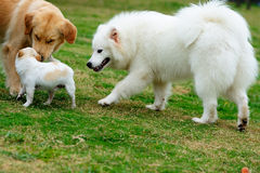Three dogs. Playing together on the lawn Royalty Free Stock Photo
