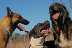 Three dogs. Playing in a field with a blue sky Royalty Free Stock Images