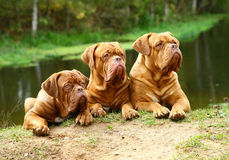 Three dogs against the river. Three lying mastiffs against the river Royalty Free Stock Image