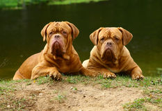 Three dogs against the river. Stock Image
