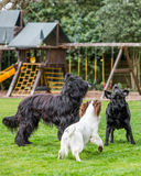 Three dogs Barking. In garden Royalty Free Stock Image