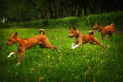 Three dogs of the Basenji breed happily running Royalty Free Stock Photos