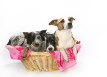 Three dogs in basket. Three cute dogs in a small wicker basket, isolated on white background Stock Images