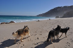 Three dogs on the beach. Three big dogs taking a walk on a sandy beach stock images