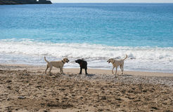 Three dogs. At the beach Royalty Free Stock Photography