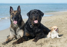 Three dogs on the beach. Malinois, rottweiler and chihuahua on the beach Royalty Free Stock Photos