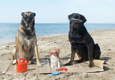Three dogs on the beach. Malinois, rottweiler and chihuahua on the beach Royalty Free Stock Images