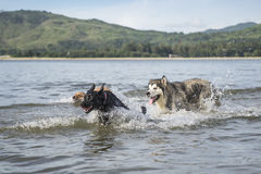 Three dogs at the beach playing chase. Outdoor shooting Royalty Free Stock Images