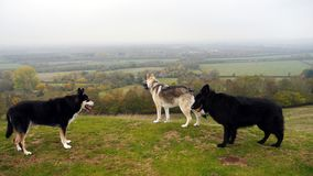 Three dogs out in the countryside of England. Three dogs being exercised on a hill in the countryside of England royalty free stock photo