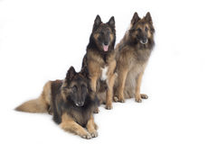 Three dogs, Belgian Shepherd Tervuren, isolated Royalty Free Stock Images