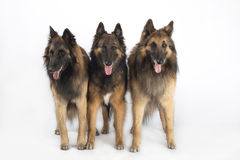 Three dogs, Belgian Shepherd Tervuren, isolated on white studio background Stock Images