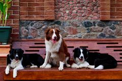 Three dogs Border Collie royalty free stock photo