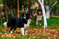 Three dogs Border Collie stock photography
