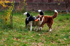 Three dogs Border Collie royalty free stock image