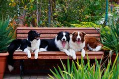 Three dogs Border Collie stock photo