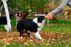 Three dogs Border Collie stock images