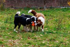 Three dogs Border Collie royalty free stock photography