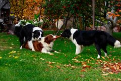 Three dogs Border Collie royalty free stock photo