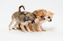Three dogs of breed chihuahua Stock Images