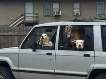 Three Dogs in a Car Stock Photos