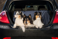 Three dogs in a car trunk Royalty Free Stock Photography