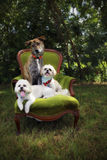 Three dogs on chair royalty free stock photo