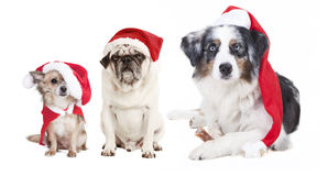 Three dogs Christmas Royalty Free Stock Image