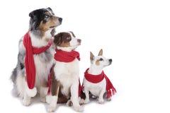 Three dogs on christmas Stock Photo