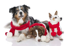 Three dogs on christmas Royalty Free Stock Images