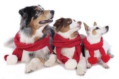 Three dogs on christmas Stock Photos