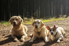 Three dogs in contrejour lighting. Laying on the ground in the forest Stock Images