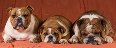 Three dogs Stock Photography