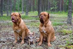 Three dogs in the forest Royalty Free Stock Photos