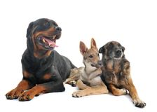 Three dogs in studio. Three dogs in front of white background Royalty Free Stock Images