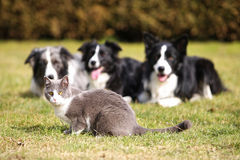 Three dogs gazing into a cat. Three dogs fixing their gaze on a grey cat stock images