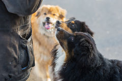 Three dogs getting feed by a man Royalty Free Stock Images