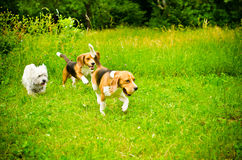 Three dogs. On a green grass Royalty Free Stock Photography