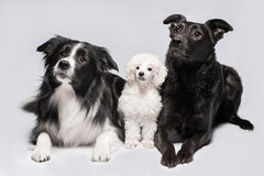 Three dogs on the grey background, border collie, poodle and mix Stock Images