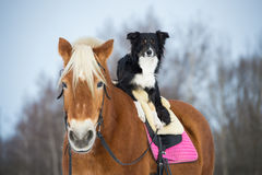 Three dogs on the grey background, border collie, poodle and mix Royalty Free Stock Photo