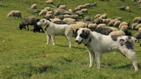 Three dogs guarding the flock of sheep stock footage
