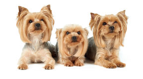 Three dogs with haircut Stock Photography