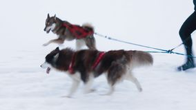 Three dogs  in harness stock video