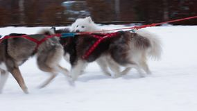 Three dogs  in harness stock footage