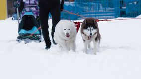 Three dogs  in harness. Three dogs husky Samoyed and West Siberian Laika in harness stock video footage