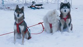 Three dogs  in harness. Three dogs husky Samoyed and West Siberian Laika in harness stock video